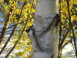 Birke Baum